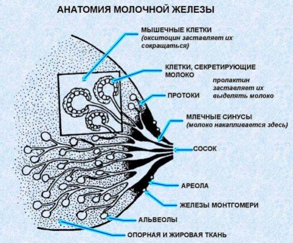anatomy oxytocin