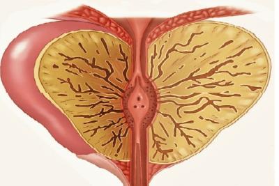 предстательная железа – основной репродуктивный орган мужчины