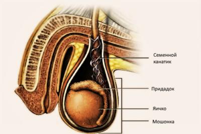 семенной канатик – это парный орган в виде тяжа, благодаря которому яички из брюшной полости опускаются в мошонку