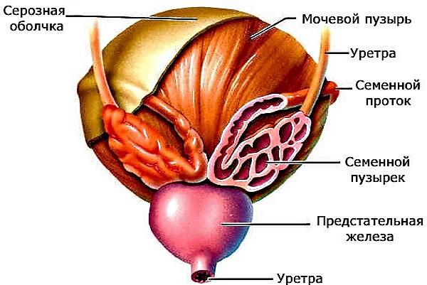 Семенные пузырьки - мужские половые органы