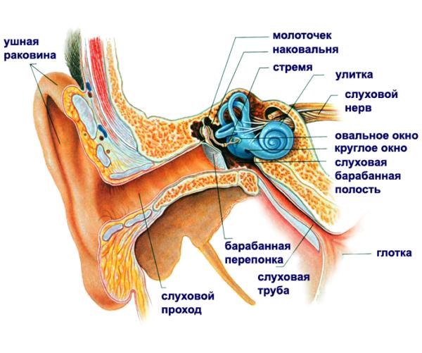 Анатомия уха